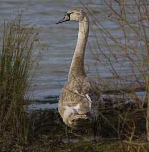 "While climate change appears to be ""black swan"" to those who assume continuity with the past, in actual fact it is at most a grey or off-white swan, i.e. not much of a surprise anymore.  The degree to which scientific findings are given their due is correlated with the degree of surprise accorded climate change and the need for action on it."